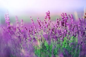 field of purple flowers used in fragrance for the aromatherapy program in New Jersey